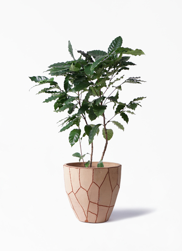 観葉植物 コーヒーの木 8号 ウィスク 付き