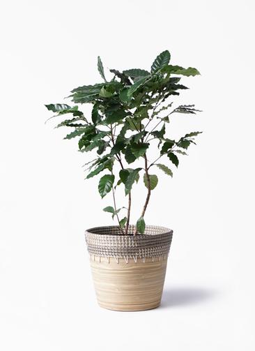 観葉植物 コーヒーの木 8号 アルマ コニック 白 付き