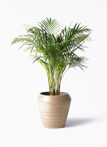 観葉植物 アレカヤシ 8号 アルマ ミドル 付き