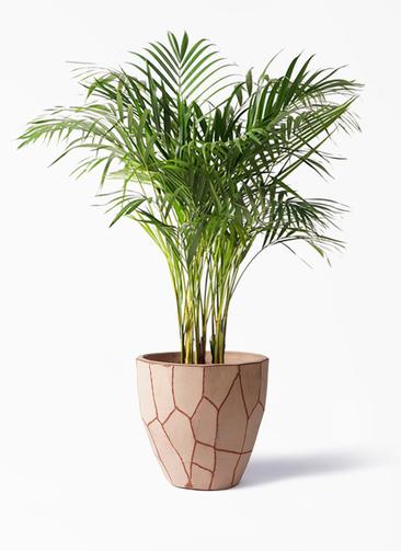 観葉植物 アレカヤシ 8号 ウィスク 付き