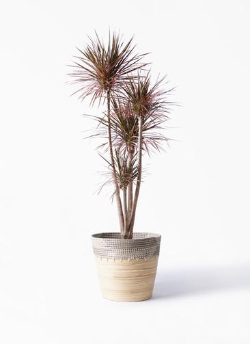 観葉植物 ドラセナ コンシンネ レインボー 10号 ストレート アルマ コニック 白 付き