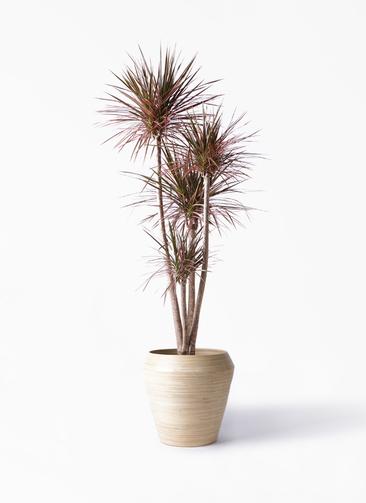 観葉植物 ドラセナ コンシンネ レインボー 10号 ストレート アルマ ミドル 付き