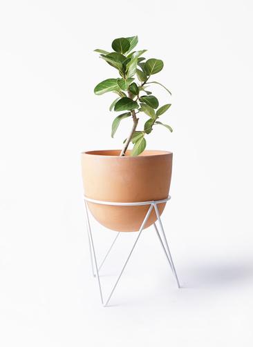 観葉植物 フィカス ベンガレンシス 6号 ストレート インティ ラウンド アイアンポットスタンド ホワイト付き