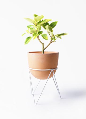 観葉植物 フィカス アルテシーマ 6号 ストレート インティ ラウンド アイアンポットスタンド ホワイト付き