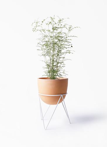観葉植物 シマトネリコ 6号 インティ ラウンド アイアンポットスタンド ホワイト付き