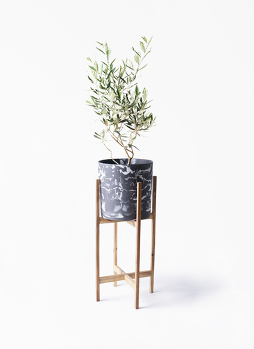 観葉植物 オリーブの木 6号 チプレッシーノ ホルスト シリンダー マーブル ウッドポットスタンド付き