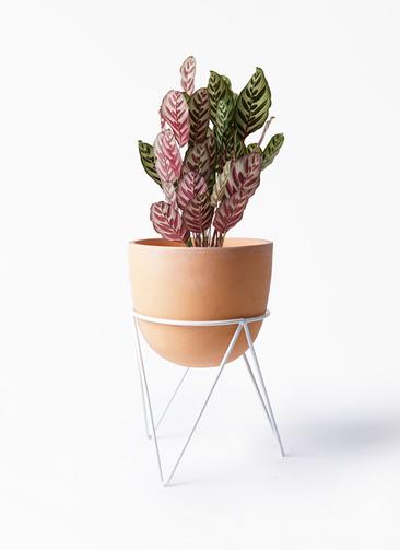 観葉植物 カラテア マコヤナ 6号 インティ ラウンド アイアンポットスタンド ホワイト付き