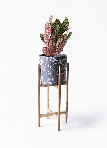 観葉植物 カラテア マコヤナ 6号 ホルスト シリンダー マーブル ウッドポットスタンド付き