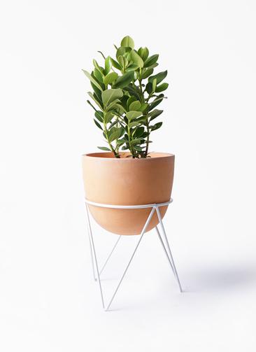 観葉植物 クルシア ロゼア プリンセス 6号 インティ ラウンド アイアンポットスタンド ホワイト付き