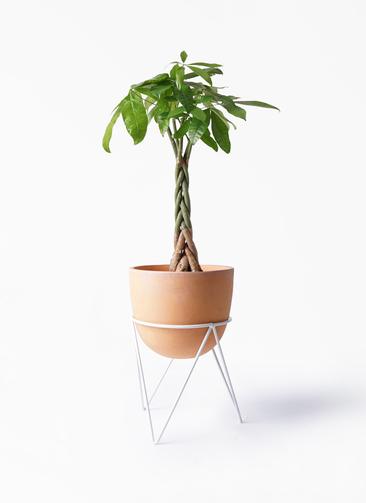 観葉植物 パキラ 6号 ねじり インティ ラウンド アイアンポットスタンド ホワイト付き