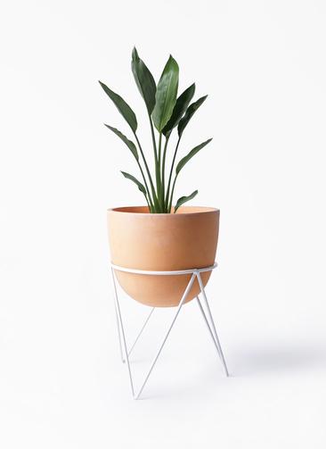 観葉植物 ストレリチア レギネ 6号 インティ ラウンド アイアンポットスタンド ホワイト付き