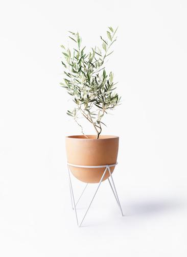 観葉植物 オリーブの木 6号 チプレッシーノ インティ ラウンド アイアンポットスタンド ホワイト付き