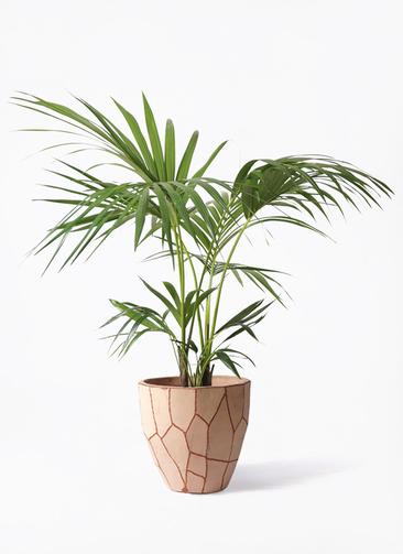 観葉植物 ケンチャヤシ 8号 ウィスク 付き