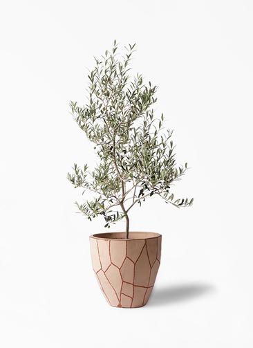 観葉植物 オリーブの木 8号 アルベキーナ ウィスク 付き