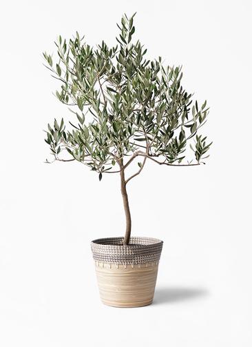 観葉植物 オリーブの木 8号 ハーディーズマンモス アルマ コニック 白 付き