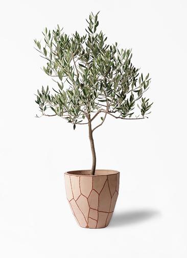 観葉植物 オリーブの木 8号 ハーディーズマンモス ウィスク 付き
