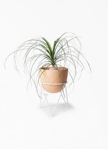 観葉植物 トックリラン 6号 インティ ラウンド アイアンポットスタンド ホワイト付き