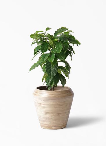 観葉植物 コーヒーの木 6号 アルマ ミドル 付き