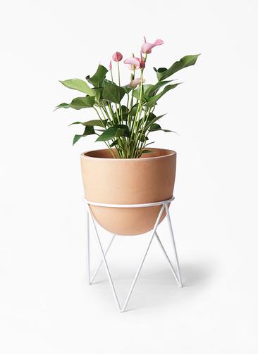 観葉植物 アンスリウム 6号 インティ ラウンド アイアンポットスタンド ホワイト付き