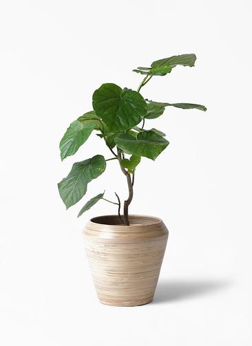 観葉植物 フィカス ウンベラータ 6号 ノーマル アルマ ミドル 付き