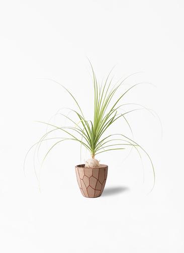 観葉植物 トックリラン 6号 ウィスク 付き