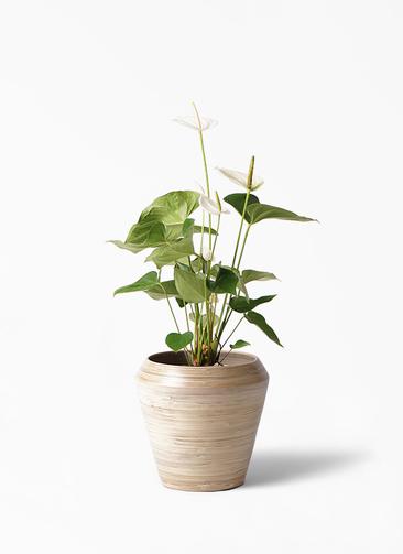観葉植物 アンスリウム 6号 スミ アルマ ミドル 付き