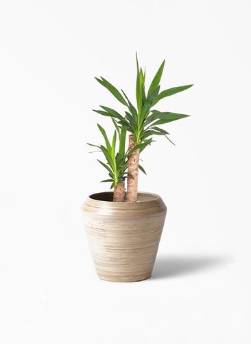 観葉植物 ユッカ 6号 ノーマル アルマ ミドル 付き