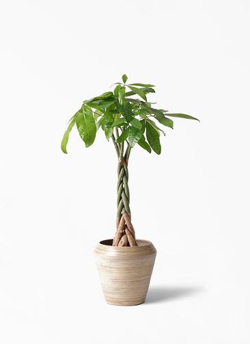 観葉植物 パキラ 6号 ねじり アルマ ミドル 付き