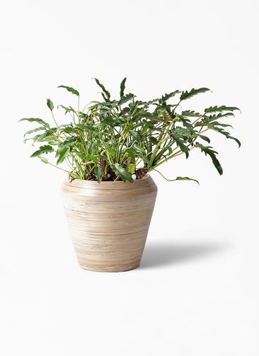 観葉植物 クッカバラ 6号 アルマ ミドル 付き