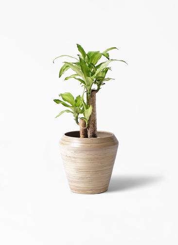 観葉植物 ドラセナ 幸福の木 6号 ノーマル アルマ ミドル 付き