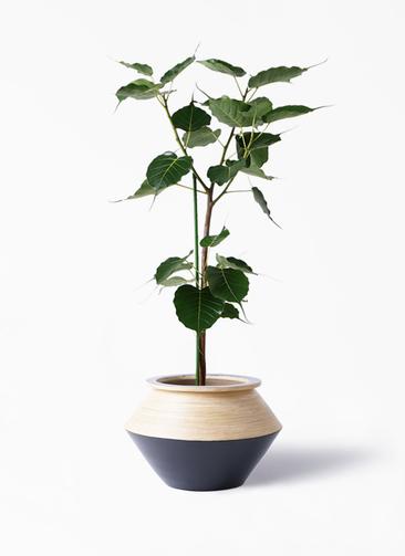観葉植物 インドボダイジュ 8号 アルマジャー 黒 付き