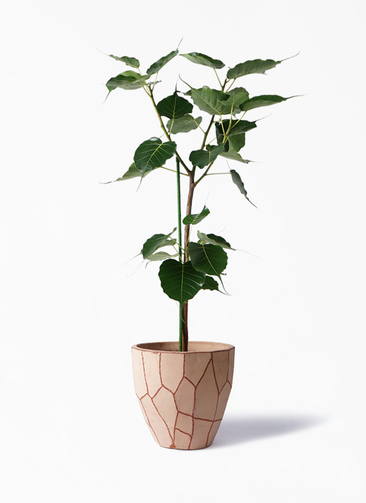 観葉植物 インドボダイジュ 8号 ウィスク 付き