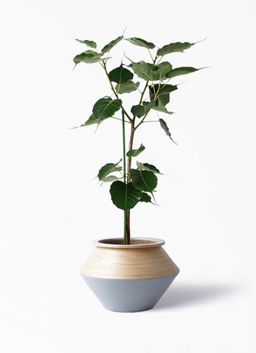 観葉植物 インドボダイジュ 8号 アルマジャー グレー 付き