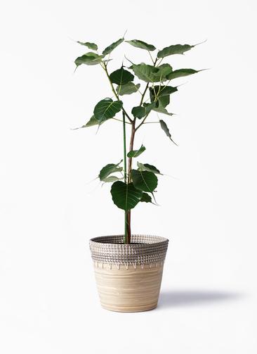 観葉植物 インドボダイジュ 8号 アルマ コニック 白 付き