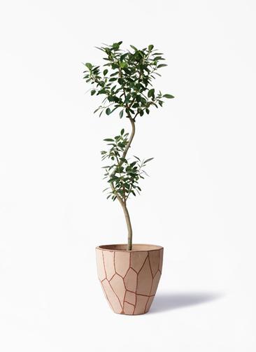 観葉植物 フランスゴムの木 8号 曲り ウィスク 付き