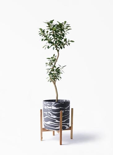 観葉植物 フランスゴムの木 8号 曲り ホルスト シリンダー マーブル ウッドポットスタンド付き