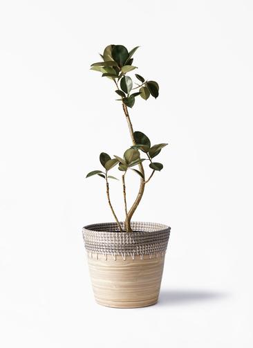 観葉植物 フィカス バーガンディ 8号 アルマ コニック 白 付き