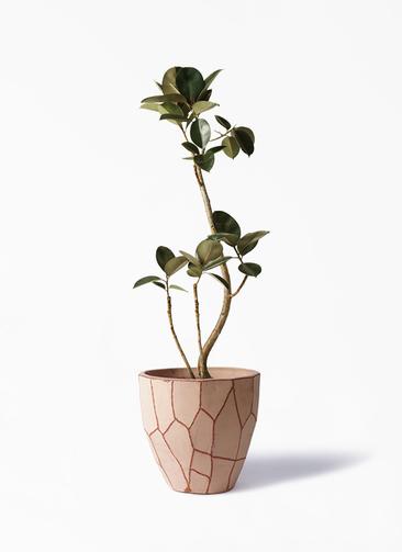 観葉植物 フィカス バーガンディ 8号 曲り ウィスク 付き