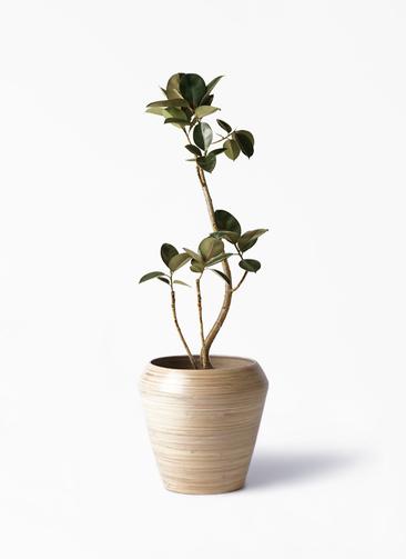 観葉植物 フィカス バーガンディ 8号 アルマ ミドル 付き