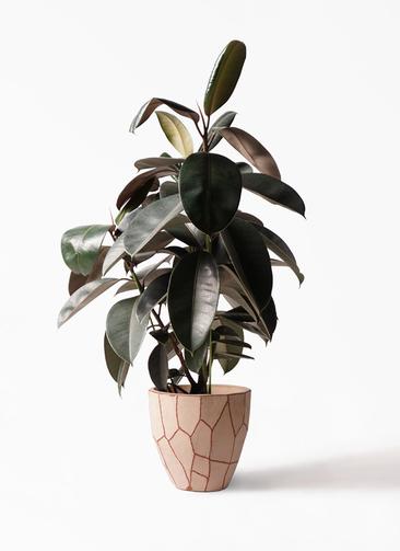 観葉植物 フィカス バーガンディ 8号 ノーマル ウィスク 付き
