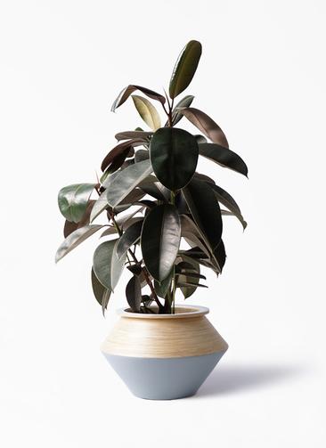 観葉植物 フィカス バーガンディ 8号 ノーマル アルマジャー グレー 付き
