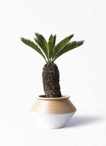 観葉植物 ソテツ 8号 アルマジャー 白 付き
