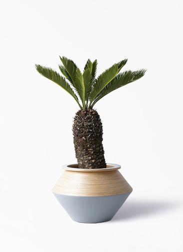 観葉植物 ソテツ 8号 アルマジャー グレー 付き