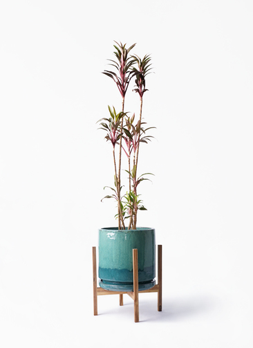 観葉植物 コルディリネ (コルジリネ) ターミナリス 8号 ビトロ エンデガ ターコイズ ウッドポットスタンド付き