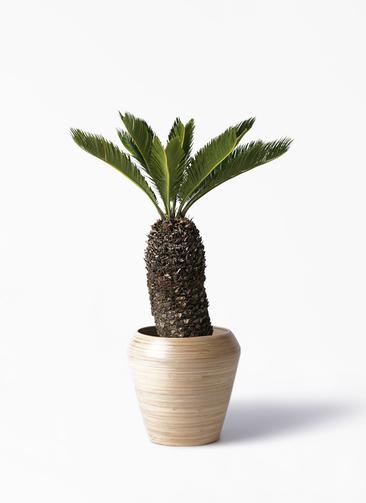観葉植物 ソテツ 8号 アルマ ミドル 付き