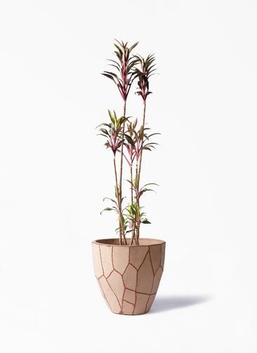 観葉植物 コルディリネ (コルジリネ) ターミナリス 8号 ウィスク 付き