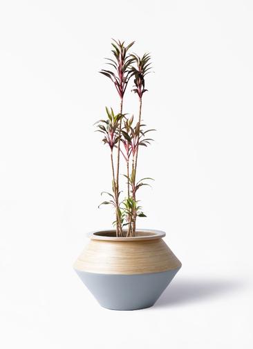 観葉植物 コルディリネ (コルジリネ) ターミナリス 8号 アルマジャー グレー 付き