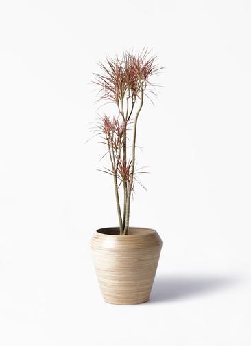 観葉植物 ドラセナ コンシンネ レインボー 8号 ストレート アルマ ミドル 付き