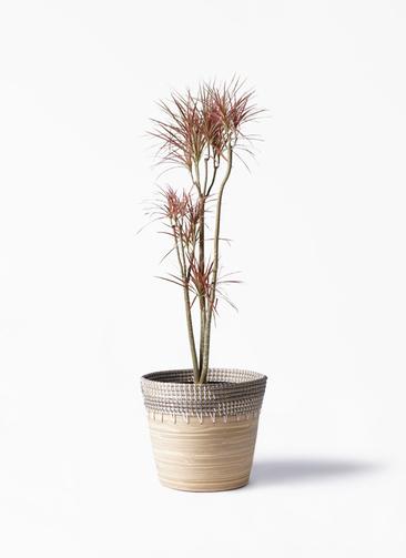 観葉植物 ドラセナ コンシンネ レインボー 8号 ストレート アルマ コニック 白 付き