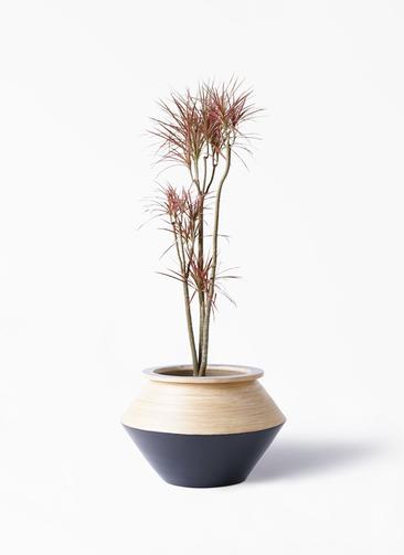 観葉植物 ドラセナ コンシンネ レインボー 8号 ストレート アルマジャー 黒 付き